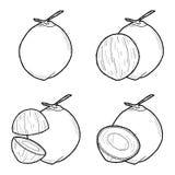 Coconut. Vector Illustration Hand Drawn Fruit Cartoon Art royalty free illustration
