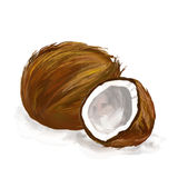 Coconut  vector illustration  hand drawn  painted. Watercolor Royalty Free Stock Image