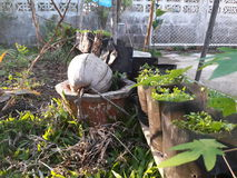 Coconut. And vegetable garden Royalty Free Stock Photography