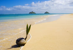 Coconut washes up on the shore Stock Photography