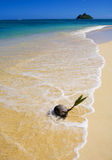 Coconut washing up on the shore Stock Photography