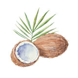 Coconut   on a white background.Vector, watercolor hand Royalty Free Stock Image