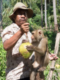 Coconut working monkey Royalty Free Stock Photo