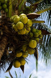 Coconuts. Clusters of coconuts hanging on palm tree Royalty Free Stock Photography