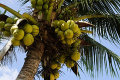 Coconuts. Clusters of coconuts hanging on palm tree Stock Images