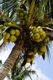 Coconuts. Clusters of coconuts hanging on palm tree Royalty Free Stock Image