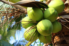 Coconuts. Clusters of coconuts close-up hanging on palm tree Royalty Free Stock Image