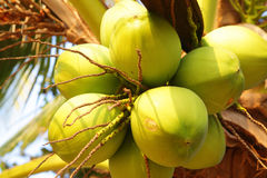 Coconuts. Clusters of coconuts close-up hanging on palm tree Stock Photography