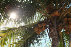 Coconuts. On a tropical palm tree Stock Images