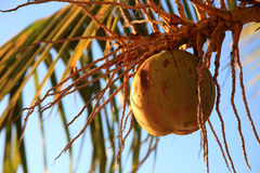 Coconuts. On a tropical palm tree Stock Photography