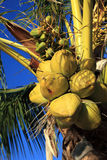 Coconuts. On a tropical palm tree Stock Photos