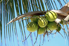 Coconuts. Immature Green Coconuts Hanging In A Palm Tree Stock Image