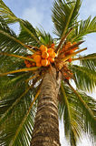 Coconuts. Bright orange coconuts at a palm tree Royalty Free Stock Images