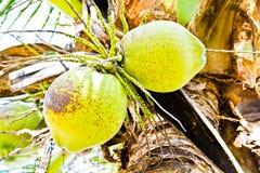 Coconuts  Stock Photos