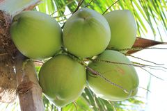 Coconuts. Fresh coconut on the tree Stock Photo