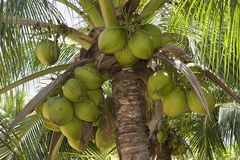 Coconuts. Hanging from a fertile coconut tree stock photo