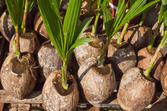Coconuts. Of coconut seedlings are grown Stock Photos