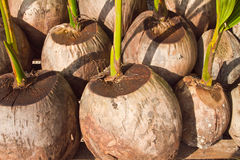 Coconuts. Of coconut seedlings are grown Stock Image
