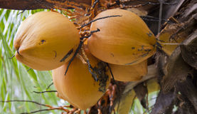 Coconuts. A bunch of coconuts on a dwarf coconut tree Royalty Free Stock Images