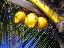 Coconuts. Three yellow coconuts on the palm exposed to sun Stock Images