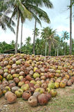 Coconuts. The whole mountain of coconuts Stock Photo