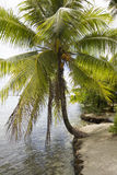 Coconuts. Palmtree with coconuts at the beach Stock Images