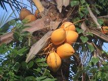coconuts Immagine Stock