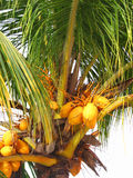 Coconuts. Yellow coconuts on a tropical tree Stock Image