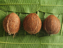 Coconuts. Three coconuts on green leaves Royalty Free Stock Image