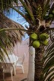 coconuts Fotografie Stock