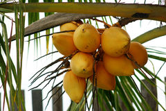 Coconuts. Coconut nuts on branches of a palm tree royalty free stock photos