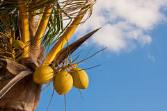 Coconuts Against Blue Sky Stock Images