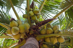 Coconuts and apart Royalty Free Stock Photography