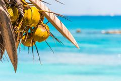 Coconuts on the background of the caribbean sea in Bayahibe, La Altagracia, Dominican Republic. Copy space for text. Royalty Free Stock Images