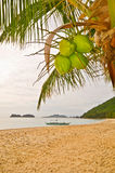 Coconuts on a Beach Stock Image