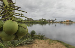 Coconuts on the beach - Natal, Brazil Royalty Free Stock Image