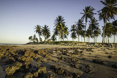 Coconuts on the beach at sunset - North coast of Potiguar. North coast of Rio Grande do Norte state, Brazilian northeast stock images