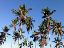 Coconuts with blue sky wallpaper Stock Photography