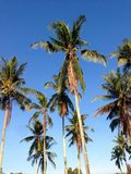 Coconuts with blue sky wallpaper Stock Images