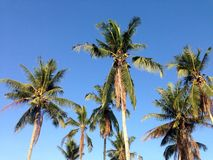 Coconuts with blue sky wallpaper. Landscape of Coconut with blue sky Royalty Free Stock Photos
