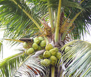 Coconuts with bunches on tree. Green coconuts with bunches on tree and white sky Royalty Free Stock Photography