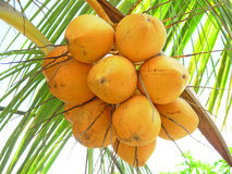 Coconuts close up. Picture of cocoa nuts on palm stock photography