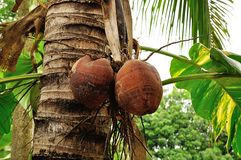 Coconuts close up on background Royalty Free Stock Photos