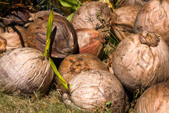 Coconuts closeup Royalty Free Stock Photos
