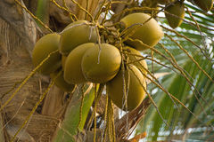 Coconuts. Clusters of coconuts on palm tree Stock Photography