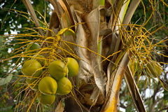 Coconuts. Clusters of coconuts on palm tree Royalty Free Stock Photo