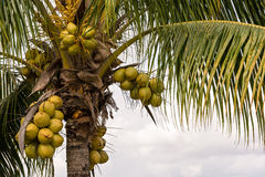 Coconuts on a coconut palm. Coconuts are growing on a coconut palm Stock Photo