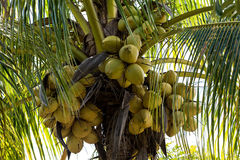 Coconuts on a coconut palm. Coconuts are growing on a coconut palm Royalty Free Stock Photos