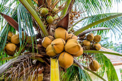Coconuts on a coconut palm, Philippines Stock Photography