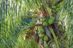 Coconuts on a coconut palm, Philippines Stock Photos
